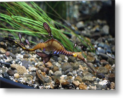 Leafy Dragon Seahorse - 0001 Metal Print by S and S Photo