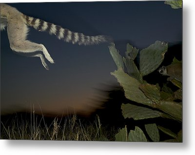 Leaping Ring-tailed Lemur  Metal Print by Cyril Ruoso
