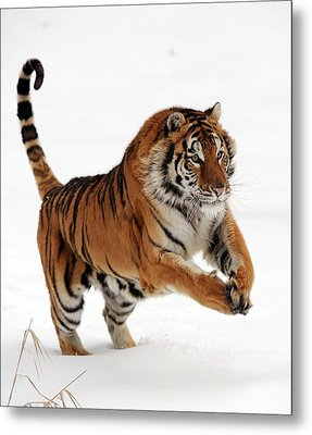 Leaping Tiger Photograph By Jacki Pienta