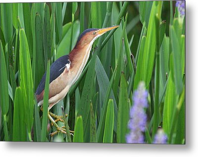 Least Bittern Metal Print by Jennifer Zelik