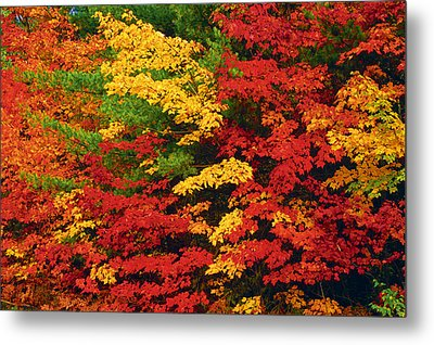 Leaves On Trees Changing Colour Metal Print by Mike Grandmailson