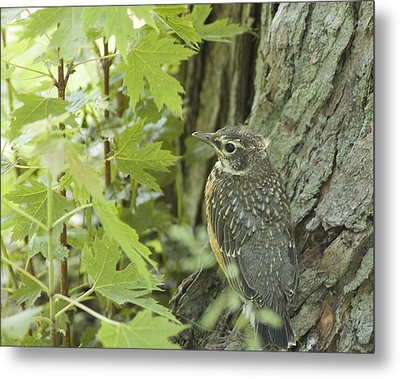 Leaving Home-young Robin Metal Print