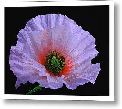 Lilac Poppy Metal Print by A. McKinnon Photography