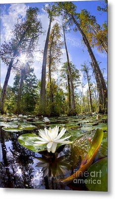 Lily Pad Flower In Cypress Swamp Forest Metal Print by Dustin K Ryan