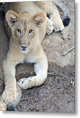 Lion Cub Metal Print by Becky Lodes