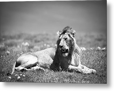 Lion King In Black And White Metal Print by Sebastian Musial