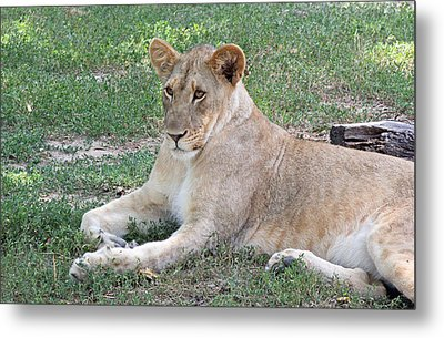 Lion Mama Metal Print by Becky Lodes