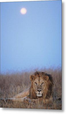 Lion (panthera Leo) Resting In Grass Under Setting Full Moon Metal Print by Paul Souders