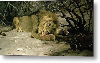 Lion Reclining In A Landscape Metal Print by Wilhelm Kuhnert