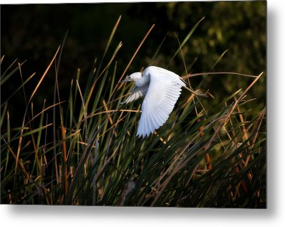 Metal Print featuring the photograph Little Blue Heron Before The Change To Blue by Steven Sparks