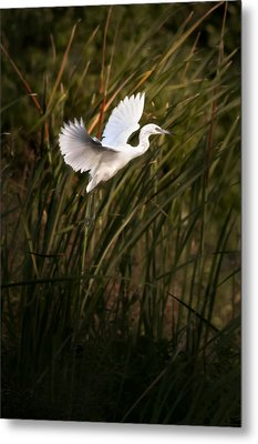 Metal Print featuring the photograph Little Blue Heron On Approach by Steven Sparks