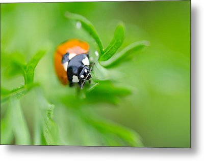 Little Climbing Lady Bug Metal Print