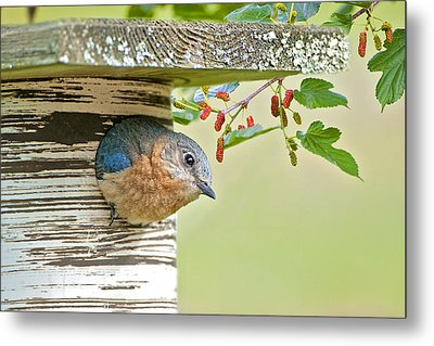 Little Mama Bluebird Metal Print