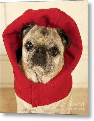Little Red Riding Pug Metal Print by Cindy Lee Longhini