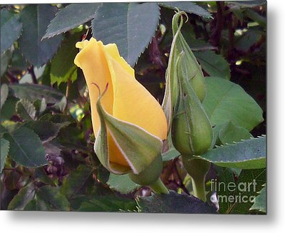 Little Rose Bud Saying Prayers Metal Print