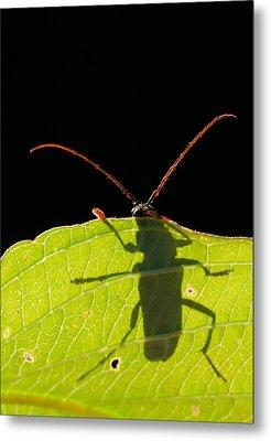 Locust Borer Metal Print by Mircea Costina Photography