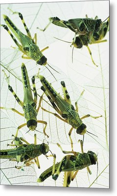 Locusts Metal Print by David Aubrey