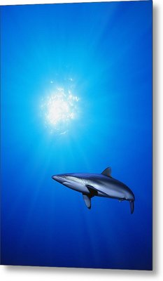 Lone Shark Illuminated By Underwater Metal Print by Carson Ganci