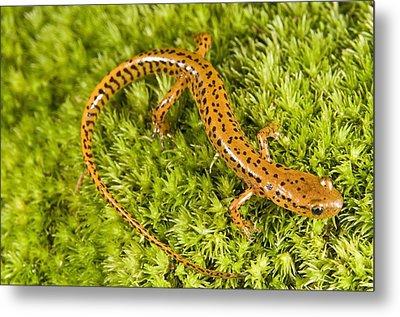 Longtail Salamander Eurycea Longicauda Metal Print by Jack Goldfarb