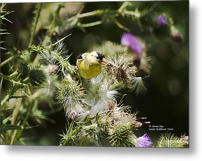 Look At Me - Lesser Goldfinch Metal Print by James Ahn