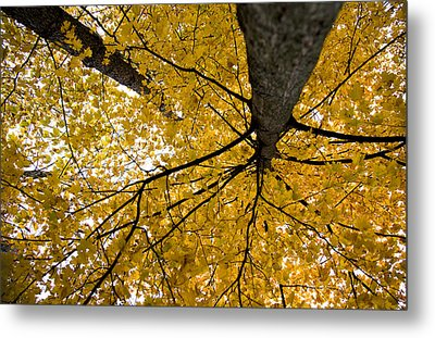 Look Up It Is Fall Metal Print by John Crothers