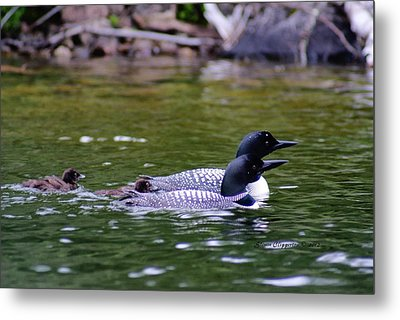 Metal Print featuring the photograph Loons With Twins 3 by Steven Clipperton