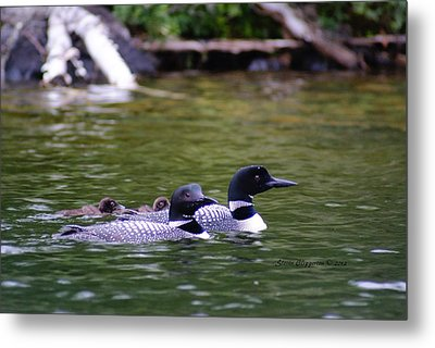Metal Print featuring the photograph Loons With Twins 4 by Steven Clipperton