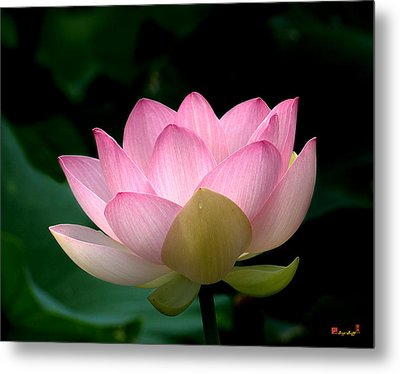 Lotus Beauty--blushing Dl003 Metal Print by Gerry Gantt
