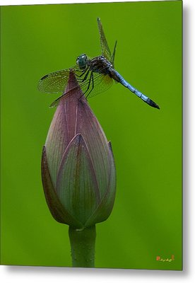 Lotus Bud And Blue Dasher Dragonfly Dl007 Metal Print by Gerry Gantt