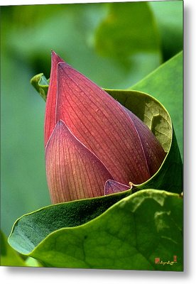 Lotus Bud--bud In A Blanket Dl049 Metal Print by Gerry Gantt