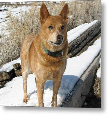 loyal Rusty - Red Heeler Metal Print