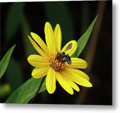 Lunch At Coreopsis Metal Print by Sandra Anderson