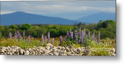 Lupins On A Shingle Beach Metal Print by John Kelly
