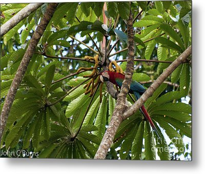 Macaw At Ease Metal Print