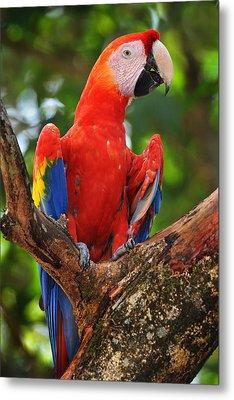 Macaw Of Copan Metal Print by Paul Bratescu