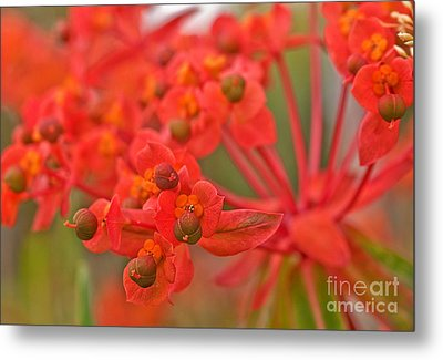 Metal Print featuring the photograph Macro Euphorbia Fireglow Plant by Valerie Garner