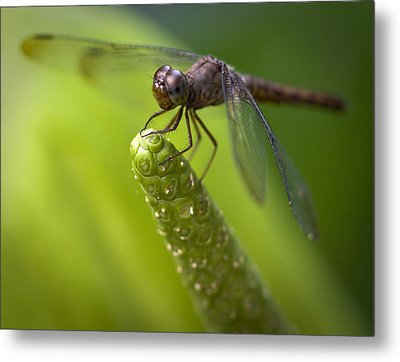 Macro Of A Dragonfly - Focus Stacked Image Metal Print