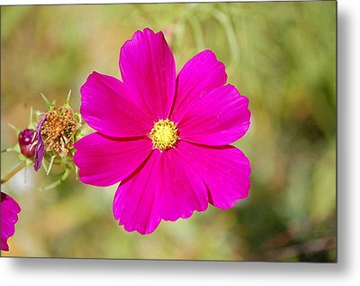 Magenta In Bloom Metal Print by Mary McAvoy