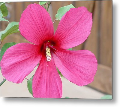 Metal Print featuring the photograph Magnificent Hibiscus by Elizabeth  Sullivan