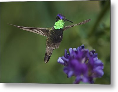 Magnificent Hummingbird Metal Print by Gregory Scott