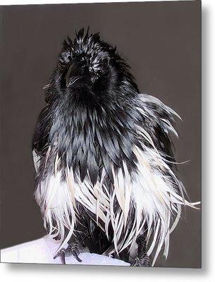 Magpie After A Bath Metal Print by Lynne Dymond