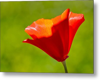 Mahogany California Poppy IIi Metal Print by Heidi Smith