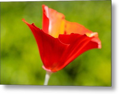 Mahogany California Poppy V Metal Print by Heidi Smith
