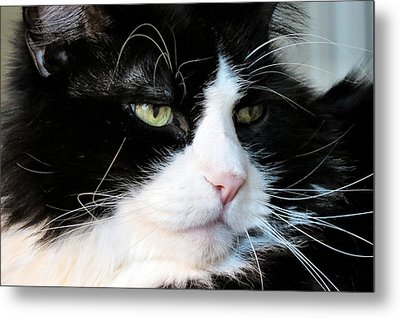 Maine Coon Face Metal Print by Art Dingo