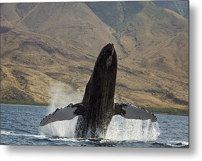 Majestic Breaching Whale Metal Print by Dave Fleetham