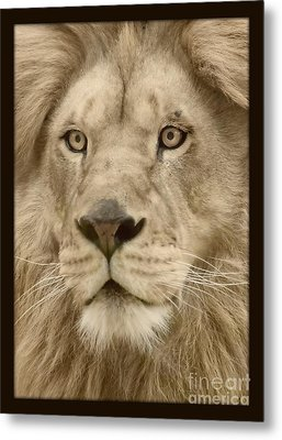 Majestic Lion Metal Print by Megan Wilson