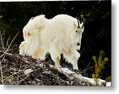 Majestic Mountain Goat Le Metal Print by Greg Norrell