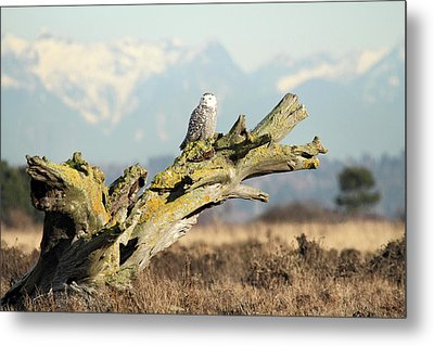 Majestic Snowy Owls Metal Print by Pierre Leclerc Photography
