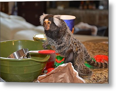 Making Cookies Chewy The Marmoset Metal Print by Barry R Jones Jr