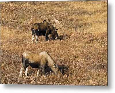 Male And Female Moose Alces Alces In Metal Print by Philippe Widling